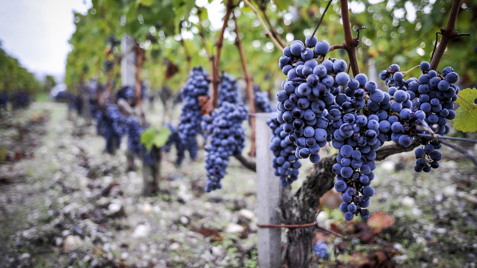 Vignoble-grappe-raisins